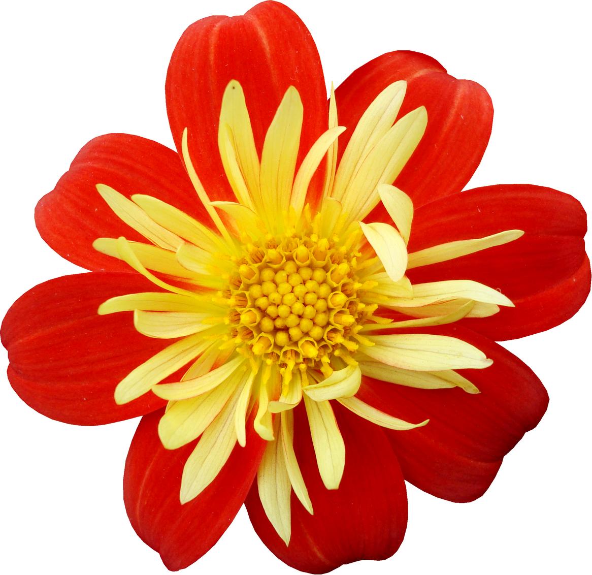 Lenagold клипарт желто красные цветы 7